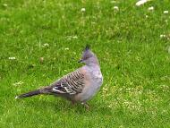 Crested-pigeon