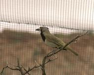 I feel like a bird in a gilded cage.(grey honey eater)
