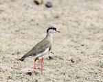 Crowned-Plover